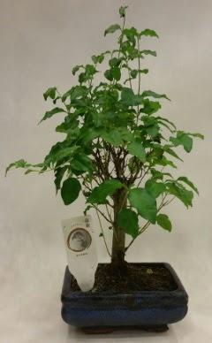 Minyatür bonsai japon ağacı satışı  Tokat anneler günü çiçek yolla