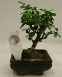 Küçük minyatür bonsai japon ağacı  Tokat 14 şubat sevgililer günü çiçek