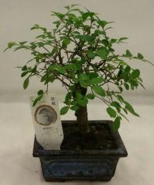 Minyatür ithal japon ağacı bonsai bitkisi  Tokat hediye sevgilime hediye çiçek