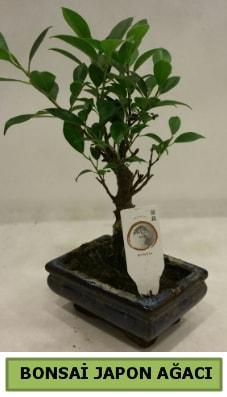 Bonsai japon ağacı saksı bitkisi  Tokat çiçekçi mağazası