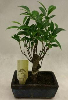 Japon ağacı bonsai bitkisi satışı  Tokat anneler günü çiçek yolla