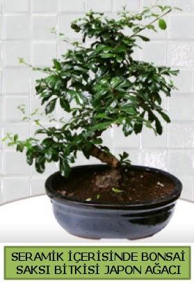 Seramik vazoda bonsai japon ağacı bitkisi  Tokat güvenli kaliteli hızlı çiçek
