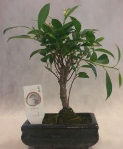 Bonsai japon ağacı bitkisi satışı  Tokat cicekciler , cicek siparisi