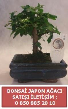 Japon ağacı minyaür bonsai satışı  Tokat hediye sevgilime hediye çiçek