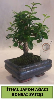 İthal japon ağacı bonsai bitkisi satışı  Tokat anneler günü çiçek yolla