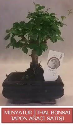 Küçük görsel bonsai japon ağacı bitkisi  Tokat çiçek online çiçek siparişi