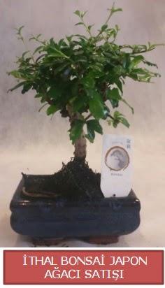 İthal küçük boy minyatür bonsai ağaç bitkisi  Tokat anneler günü çiçek yolla