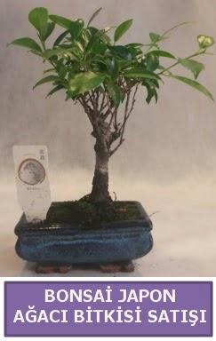İthal Bonsai japon ağacı bitkisi satışı  Tokat cicek , cicekci