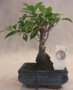 Bonsai ağacı japon ağaç bitkisi  Tokat uluslararası çiçek gönderme