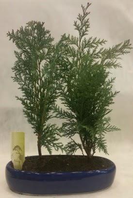SINIRLI SAYIDA Selvi Ağacı bonsai ikili  Tokat anneler günü çiçek yolla