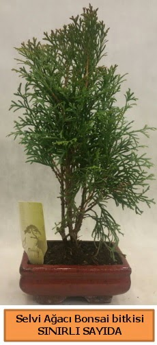 Selvi ağacı bonsai japon ağacı bitkisi  Tokat hediye sevgilime hediye çiçek