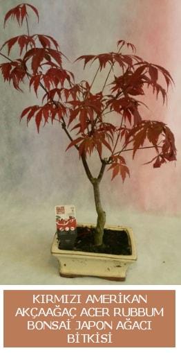 Amerikan akçaağaç Acer Rubrum bonsai  Tokat çiçekçi telefonları