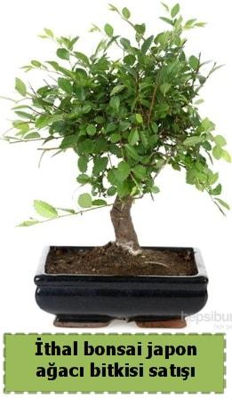 İthal bonsai saksı çiçeği Japon ağacı satışı  Tokat cicek , cicekci