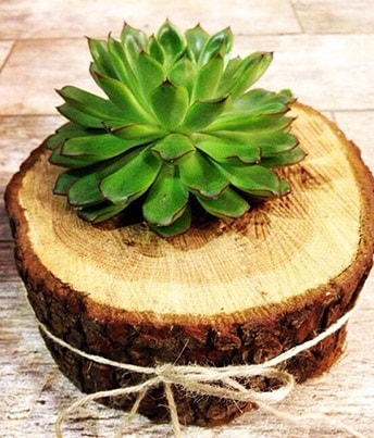 Doğal kütük içerisinde sukulent kaktüs  Tokat hediye sevgilime hediye çiçek