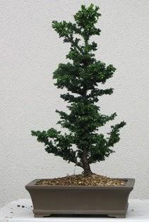 Çam ağacı bonsai bitkisi satışı  Tokat anneler günü çiçek yolla