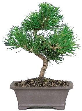 Çam ağacı bonsai japon ağacı bitkisi  Tokat 14 şubat sevgililer günü çiçek