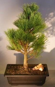 Çam ağacı japon ağacı bitkisi bonsai  Tokat anneler günü çiçek yolla