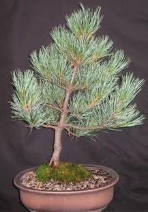 Bonsai çam ağacı japon ağacı bitkisi  Tokat güvenli kaliteli hızlı çiçek