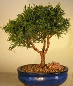 Servi çam bonsai japon ağacı bitkisi  Tokat uluslararası çiçek gönderme