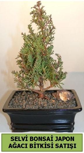 Selvi çam japon ağacı bitkisi bonsai  Tokat anneler günü çiçek yolla