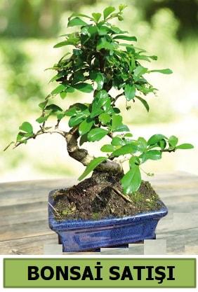 Çam bonsai japon ağacı satışı  Tokat hediye sevgilime hediye çiçek