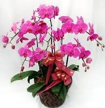 Sepet içerisinde 5 dallı lila orkide  Tokat çiçek servisi , çiçekçi adresleri