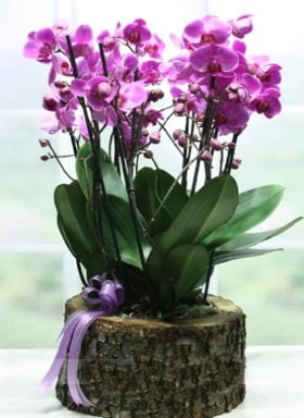 Kütük içerisinde 6 dallı mor orkide  Tokat çiçek servisi , çiçekçi adresleri
