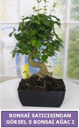 S dal eğriliği bonsai japon ağacı  Tokat hediye sevgilime hediye çiçek