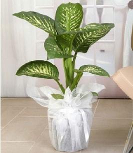 Tropik saksı çiçeği bitkisi  Tokat hediye sevgilime hediye çiçek
