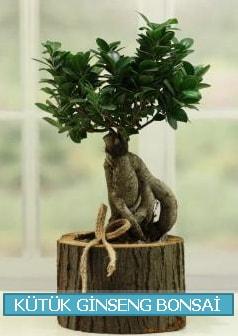 Kütük ağaç içerisinde ginseng bonsai  Tokat cicekciler , cicek siparisi