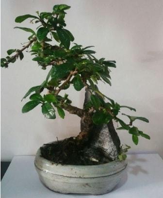 S şeklinde ithal bonsai ağacı  Tokat uluslararası çiçek gönderme