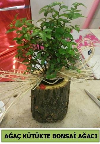 Doğal ağaç kütük içerisinde bonsai ağacı  Tokat cicekciler , cicek siparisi