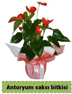 Antoryum saksı bitkisi satışı  Tokat çiçek online çiçek siparişi