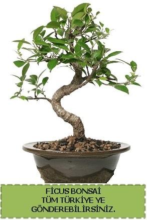 Ficus bonsai  Tokat cicekciler , cicek siparisi