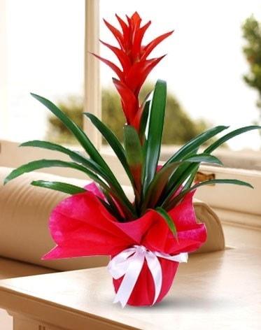 Guzmanya Saksı Çiçeği  Tokat uluslararası çiçek gönderme