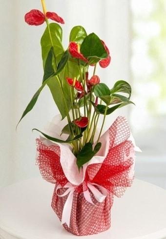 Anthurium Saksı Çiçeği  Tokat çiçek mağazası , çiçekçi adresleri