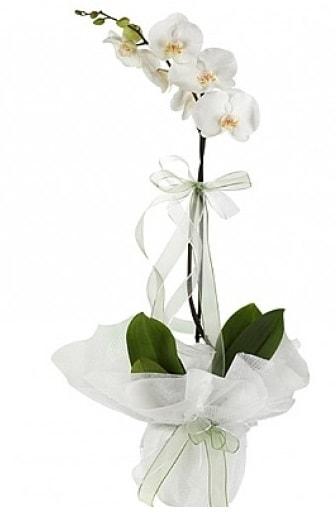 Tekli Beyaz Orkide  Tokat çiçek mağazası , çiçekçi adresleri