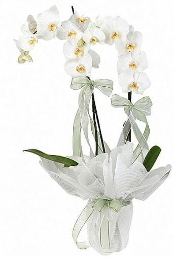 Çift Dallı Beyaz Orkide  Tokat çiçek , çiçekçi , çiçekçilik