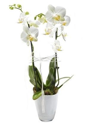 2 dallı beyaz seramik beyaz orkide saksısı  Tokat cicekciler , cicek siparisi