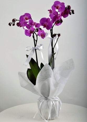 Çift dallı saksıda mor orkide çiçeği  Tokat İnternetten çiçek siparişi