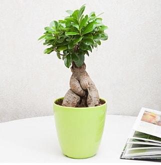 Ficus Ginseng Bonsai  Tokat çiçek satışı