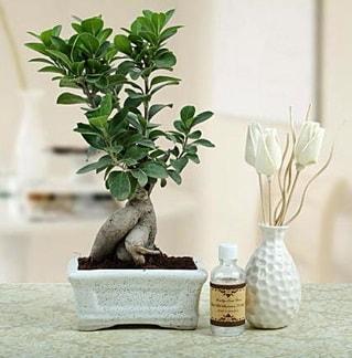 Ginseng ficus bonsai  Tokat online çiçekçi , çiçek siparişi
