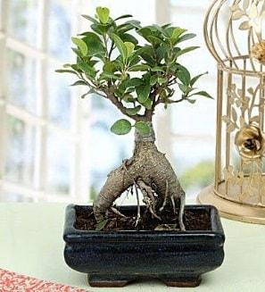 Appealing Ficus Ginseng Bonsai  Tokat çiçek , çiçekçi , çiçekçilik