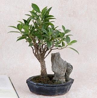Japon ağacı Evergreen Ficus Bonsai  Tokat cicekciler , cicek siparisi