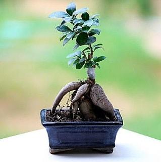 Marvellous Ficus Microcarpa ginseng bonsai  Tokat İnternetten çiçek siparişi