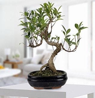 Gorgeous Ficus S shaped japon bonsai  Tokat internetten çiçek siparişi