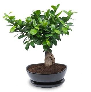 Ginseng bonsai ağacı özel ithal ürün  Tokat yurtiçi ve yurtdışı çiçek siparişi