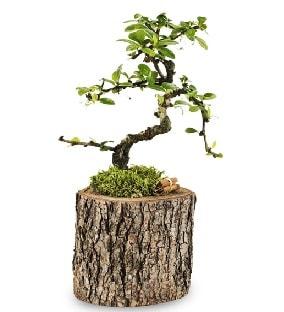 Doğal kütükte S bonsai ağacı  Tokat hediye sevgilime hediye çiçek