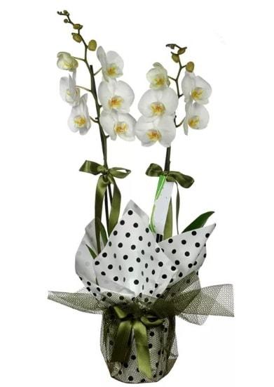 Çift Dallı Beyaz Orkide  Tokat çiçek satışı