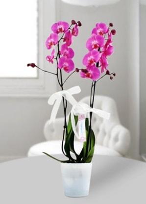 Çift dallı mor orkide  Tokat online çiçekçi , çiçek siparişi